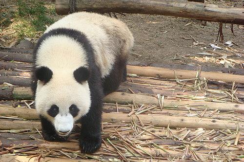 到成都學郭董看熊貓